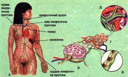 Лімфатична система людин